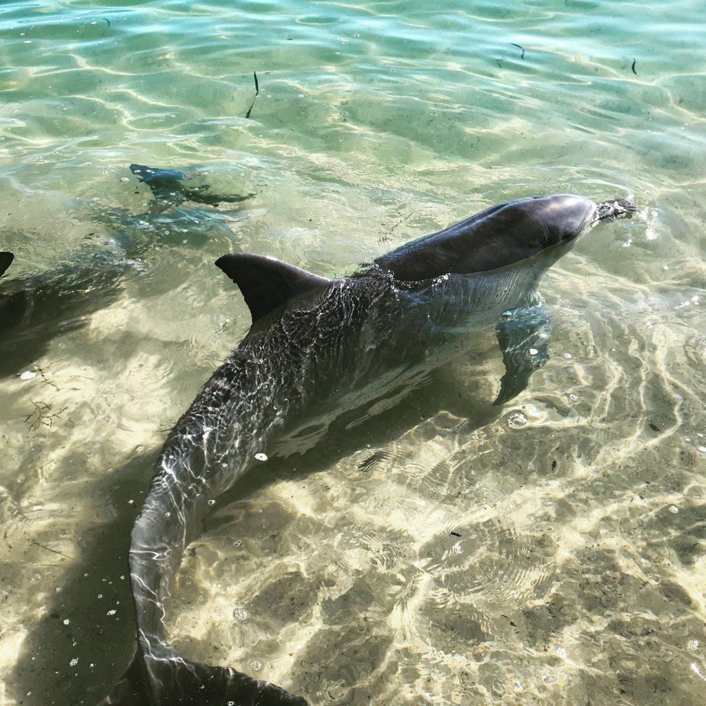 voir dauphin Australie monkey mia