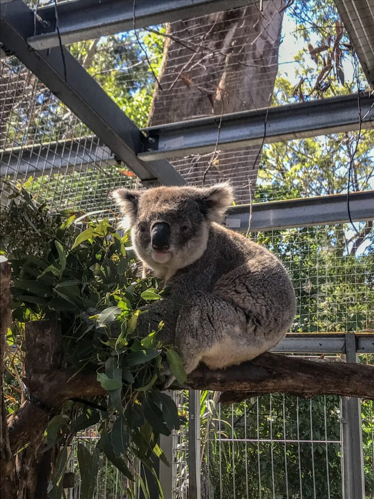 voir koala Australie