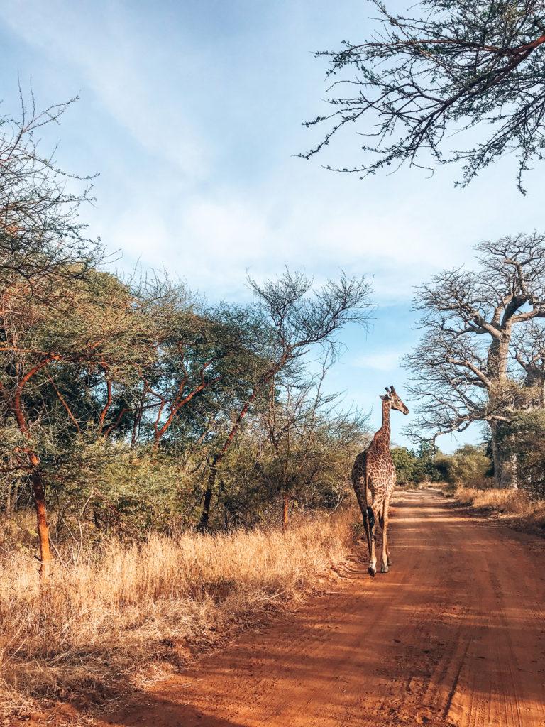 girafe safari Afrique sénégal