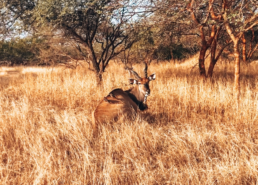 antilope animaux safari Afrique sénégal